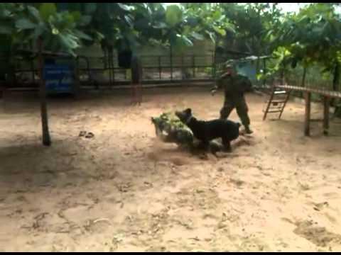 Rottweiler đã huấn luyện nghiệp vụ
