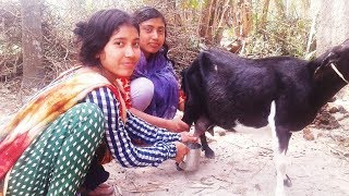 Goat Milk | Young Village Girl | Beautiful Cute Girl Goat Milking