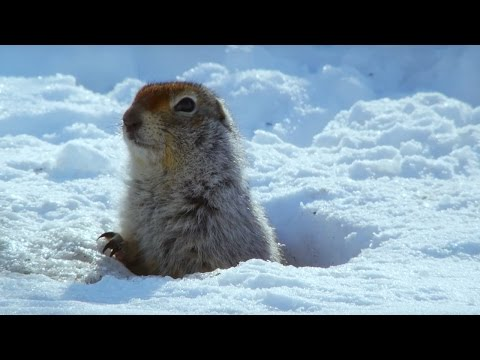 How an Arctic Squirrel Survives Winter | Wild Alaska | BBC Earth