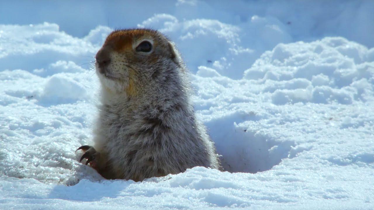 Arctic Squirrel Hibernates Longest