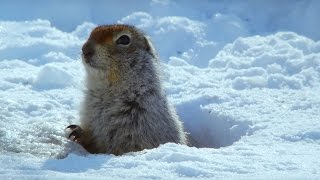 How an Arctic Squirrel Survives Winter | Wild Alaska | BBC E...
