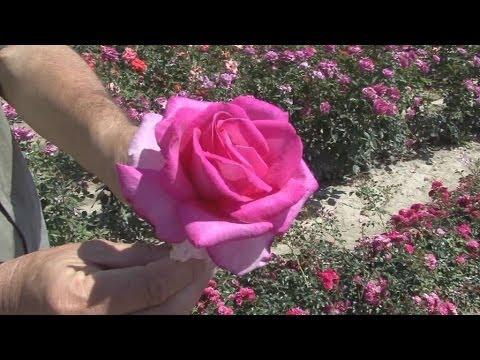 Τρεις γενιές μετρά το μεγαλύτερο φυτώριο με τριανταφυλλιές