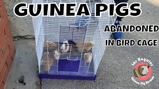 Guinea Pig Family Abandoned and Dropped off in a Bird Cage