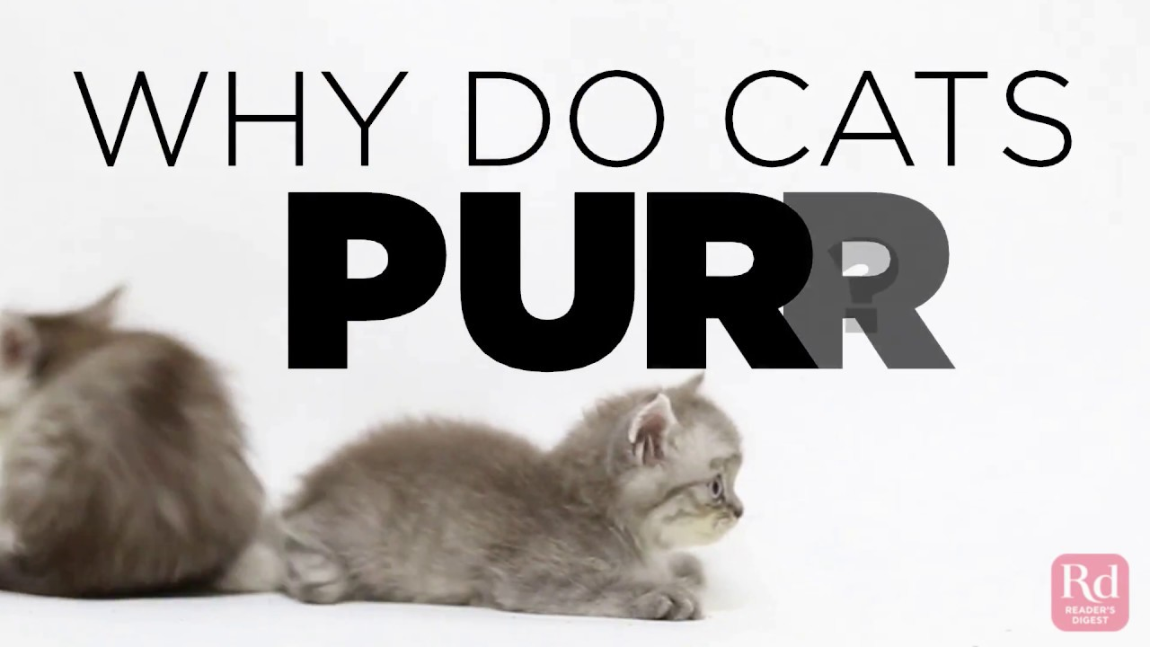 Why Do Cats Purr