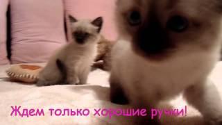 Сиамские котята в хорошие ручки