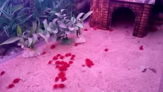 Red velvet mite (Birba Boti)