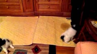 Patuxent Papillon Puppy puddle pad trained