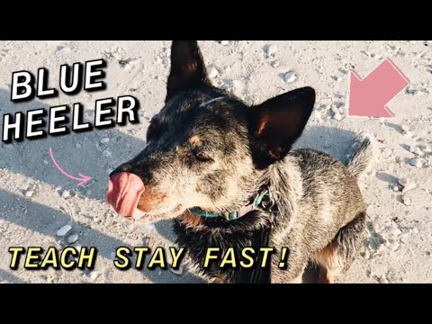 How I Taught my Blue Heeler to STAY | Australian Cattle Dog