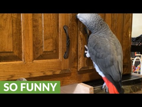 Curious parrot likes to snoop in kitchen cabinets