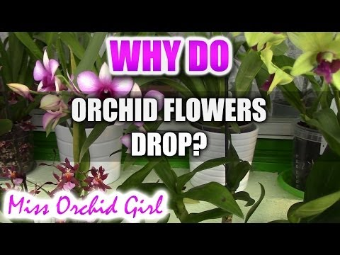 Why Do Orchid Flowers Drop Prematurely Youtube