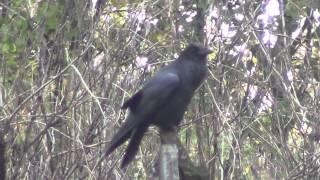Старый 300 летний ворон пытается подманить птичку, подражая её голос.