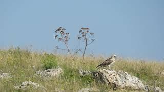 Un biancone in ambiente tipicamente murgiano . ferule ormai secche incorniciano la scena... ( parco nazionale dell' alta murgia )
