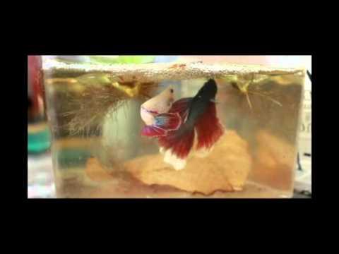 Halfmoon Betta Fish Spawning Process