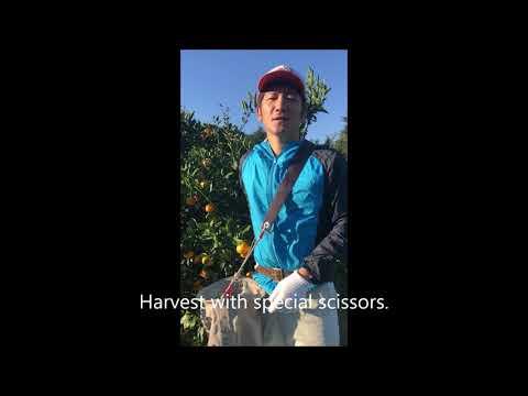 Introduction of  mandarin  oranges  harvesting tools