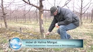 Przezimowanie czereśni - Agroflash Tydzień