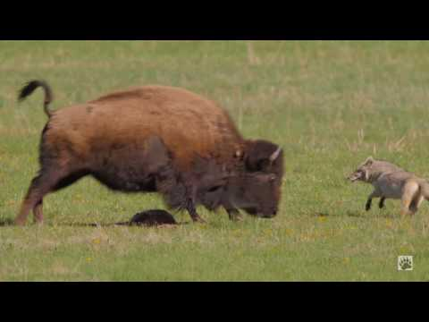 Yellowstone COYOTE VS BISON