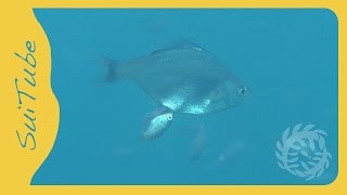 Ovoviviparous fish (Neoditrema ransonnetii), Japan