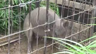 猪が近くの檻罠に捕獲されたと聞いたので見てきました。 閲覧注意です。