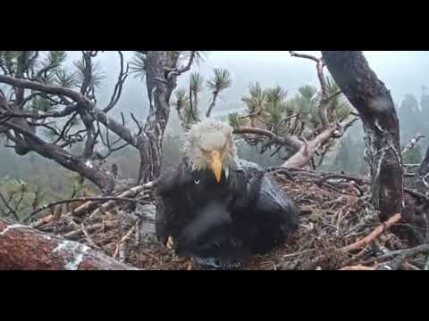 Big Bear Eagle Cam- WOW. SUPER. AMAZING MOM.JACKIE IN RAIN! . WATCH.  5/16/19