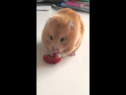 Can Hamsters Eat Carrot Cake