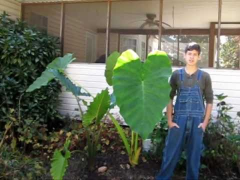 Overwintering Elephant Ears Youtube