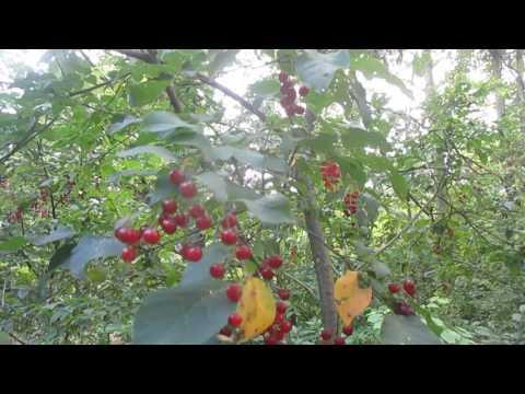 Tree ID: Chokecherry 2 Fruiting