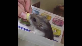Funny Cute Animals Hamster 1