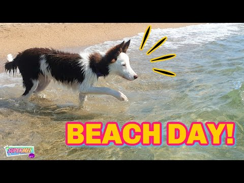 PUPPY'S FIRST BEACH DAY! Border Collie Dog