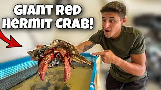 CATCHING A GIANT RED HERMIT CRAB For My POOL POND!!