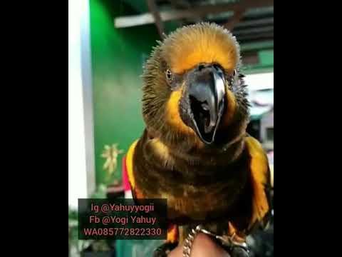 Suara Dari Burung Nuri Brown
