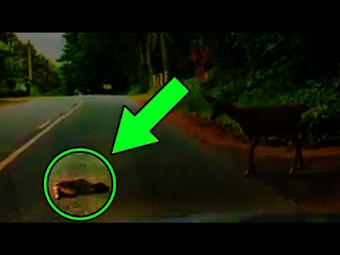 Guy Stumped When Fawn Refuses To Move, Looks Closer And Realizes He Has To Act Fast