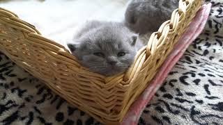 British Shorthair. Everyone has the right to sleep as they like. Juno *Calmcat  British Shorthair