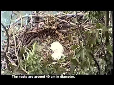 Travelers of the Nature - Migration & Breeding of Black-faced Spoonbill