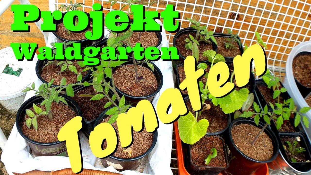 Tomaten Zucchini Und Auberginen Und Ingwer Kommen In Den Garten