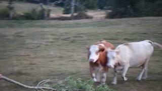 aubrac été 2009 ferme de l'âne heureux