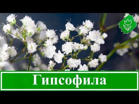 Многолетняя гипсофила – посадка и уход, выращивание гипсофилы из семян
