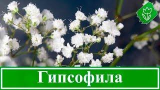 видео Глориоза: фото, посадка, уход в домашних условиях, выращивание из семян