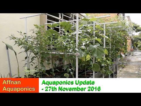 Affnan's Aquaponics - 27th Nov 2016 Update