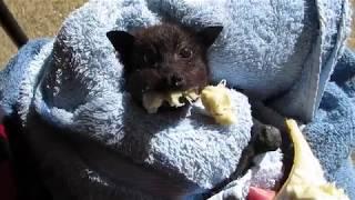 ほっぺがプクプク。バナナ大好きなコウモリの赤ちゃん