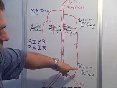 Collateral & Recurrent arteries of the Arm