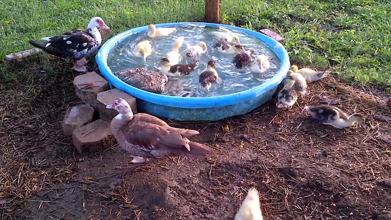 Muscovy Baby Ducks At 3-Weeks Old