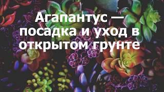 видео Агапантус