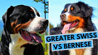 Bernese Mountain Dog vs Greater Swiss Mountain Dog Difference