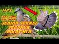 Suara Burung Tekukur Terbaru Cocok Buat Pikat  Mp3 - Mp4 Download