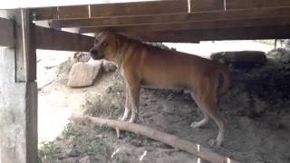 Самая злая собака на Пангане