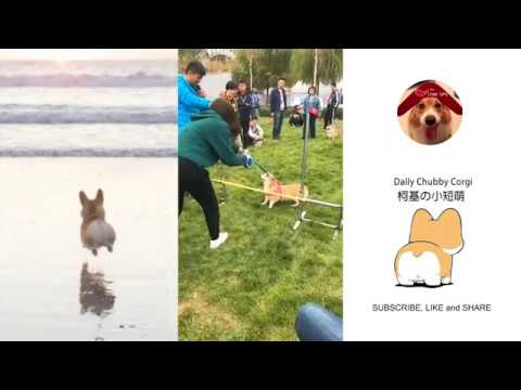 Funny Daily Chubby Corgi Dogs Cute Puppies 2019 Compilation 猫狗蠢萌合集 EP30