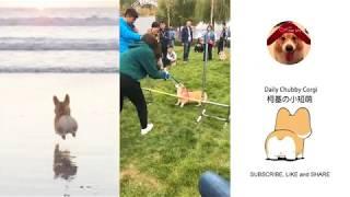 Funny Daily Chubby Corgi Dogs Cute Puppies 2019 Compilation 猫狗蠢萌合集 EP30