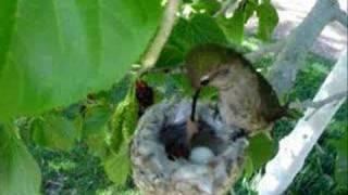 Humming bird nest April 2 2007 (Momma Feeding Good Shot )