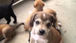 Beagle/labrador Puppies