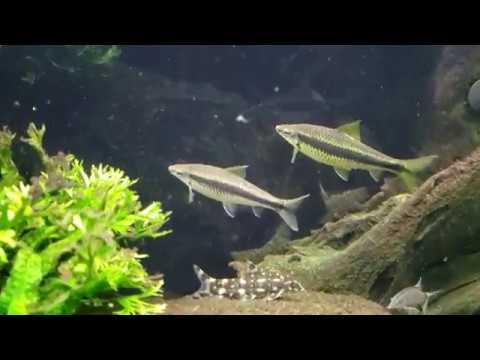 Algae Eating Sharks?